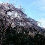 玉蔵院 枝垂れ桜