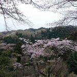 八王子城から見えた桜