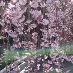 浦和 玉蔵院 桜