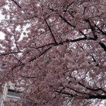 浦和商業高等学校 桜