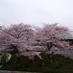 武蔵浦和駅前の桜