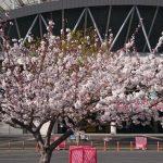 鹿島サッカースタジアム 桜